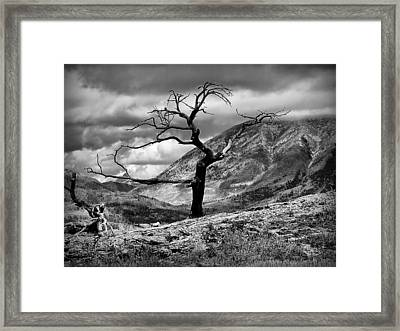 The Burmis Tree Framed Print