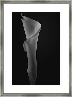 The Calla Lily Flower In Black And White Framed Print
