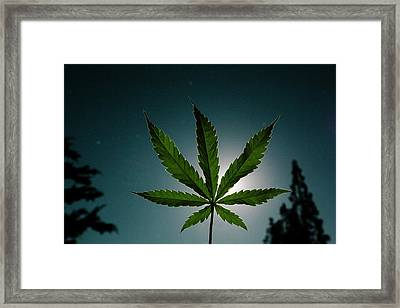 The Cannabis Plant In Silhouette Framed Print by Stock Pot Images