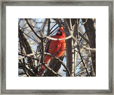 Framed Print featuring the photograph The Cardinal by Nikki McInnes