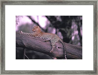 The Cat Who Walks Alone Framed Print by Carl Purcell