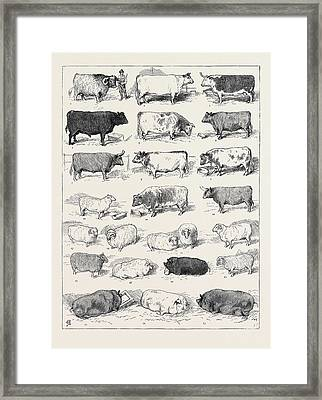 The Cattle Show At Islington, Some Of The Prize Winners -1 Framed Print