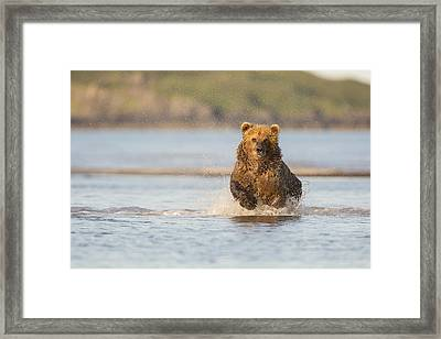 The Chase For Salmon Framed Print by Tim Grams