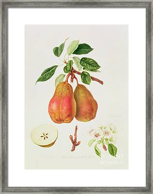 The Chaumontelle Pear Framed Print by William Hooker