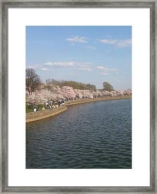 The Cherry Blossom Festival In D.  C Framed Print
