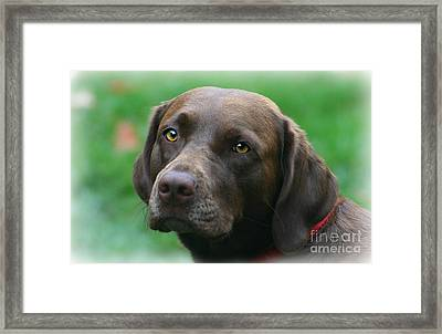 The Chocolate Lab Framed Print