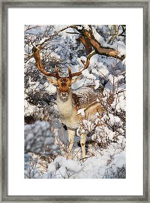 The Christmas Deer - Fallow Deer In The Snow Framed Print