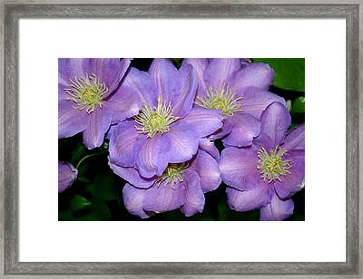 The Clematis Gang Framed Print by Sarah OToole