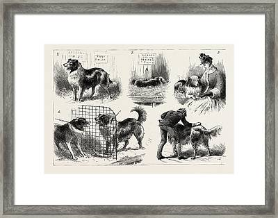 The Collie Dog Show At The Royal Aquarium, Westminster Framed Print by English School