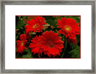 Gerbera Daisies Red Framed Print