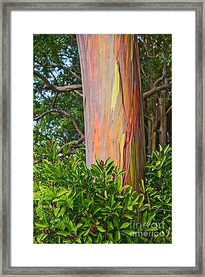 The Colorful And Magical Rainbow Eucalyptus Tree. Framed Print