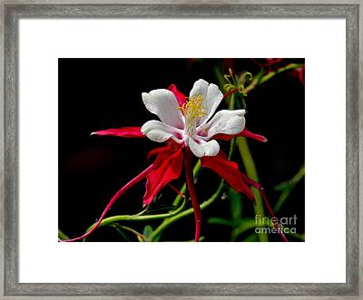 The Columbine Framed Print