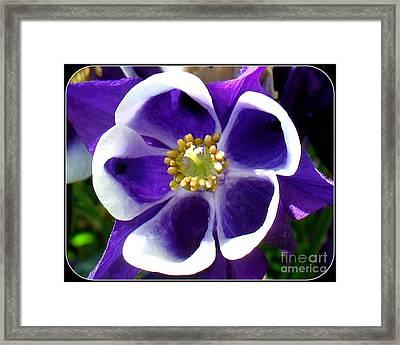 The Columbine Flower Framed Print by Patti Whitten