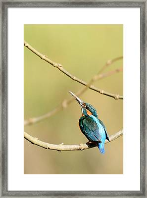 The Common Kingfisher Framed Print