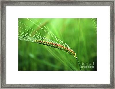 The Corn Framed Print by Hannes Cmarits