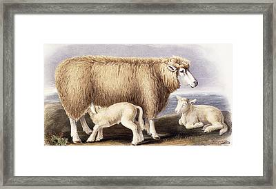 The Cotswold Breed Framed Print