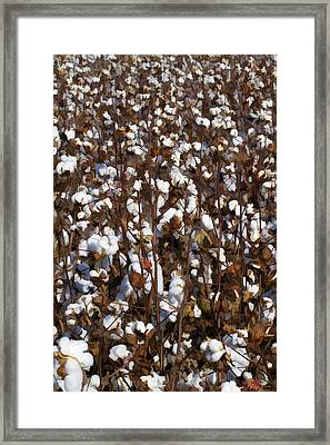 The Cotton Buzz In Alabama Framed Print by Kathy Clark