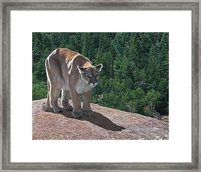 The Cougar 1 Framed Print by Ernie Echols