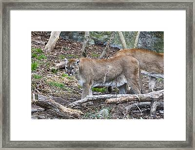 The Cougar Look Framed Print by Chris Flees
