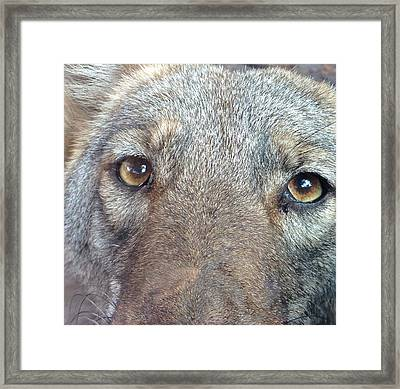 The Coyote Framed Print by K Simmons Luna