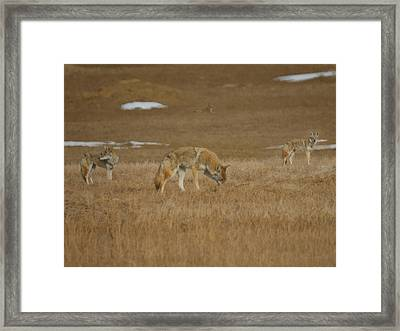 The Coyotes Painterly Framed Print by Ernie Echols