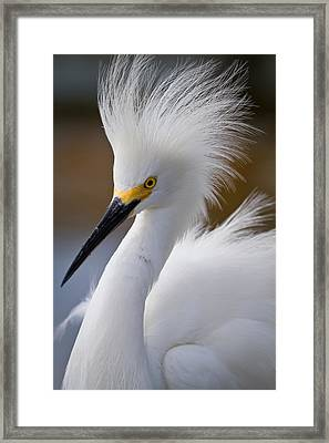The Crest Of A Snowy Egret Framed Print by Andres Leon
