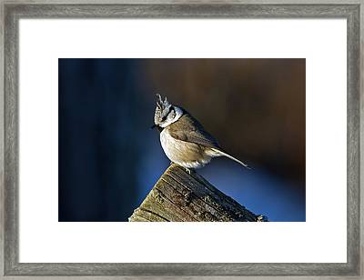 The Crested Tit In The Sun Framed Print