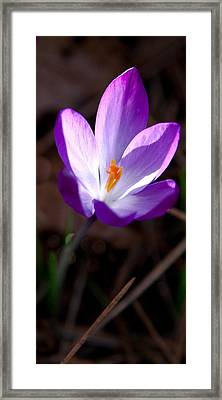 The Crocus Framed Print by David Patterson