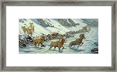 The Crossing - Bighorn Framed Print by Paul Krapf