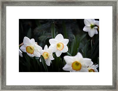 The Daffodil Bloom Framed Print by Thanh Tran