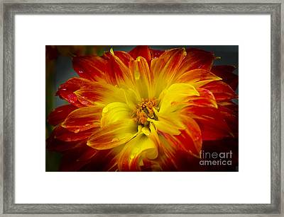 The Dahlia's Drama Framed Print