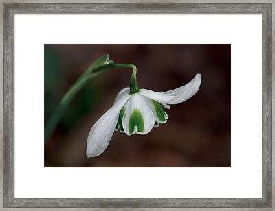 The Dance Of The Snowdrop Framed Print by Shirley Mitchell