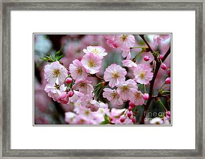 The Delicate Cherry Blossoms Framed Print by Patti Whitten