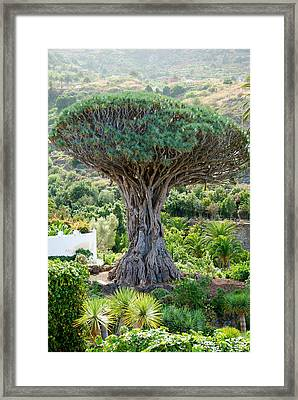 The Dragon Tree / El Drago Milenario Framed Print by Gavin Lewis