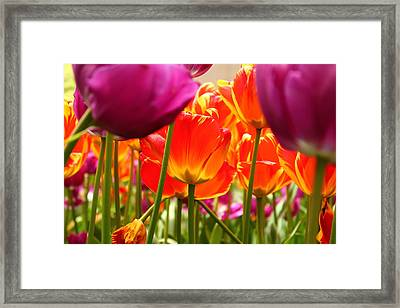 The Drooping Tulip Framed Print by Catie Canetti