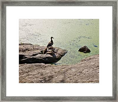 The Duck Family Framed Print by Madeline Ellis