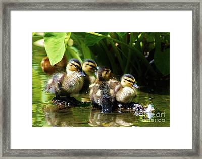 The Duckling Gang Framed Print by Craig Wood