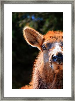 The Elk Look Framed Print by Emily Stauring
