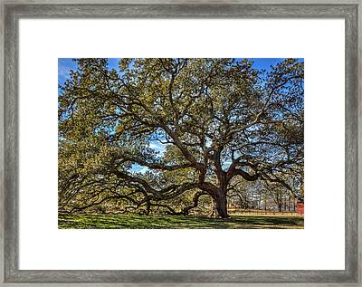 The Emancipation Oak Tree At Hu Framed Print