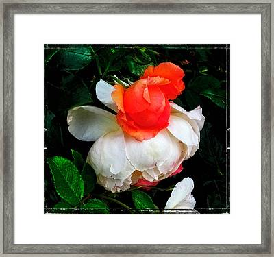 The English Rose Framed Print