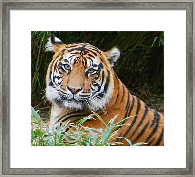 The Eyes Of A Sumatran Tiger Framed Print