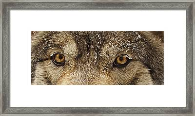 Framed Print featuring the photograph The Eyes Of The Wolf  by Brian Cross