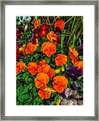 The Fall Pansies Framed Print