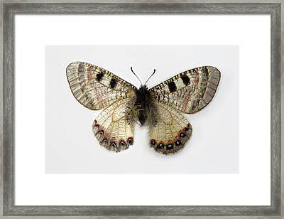 The False Apollo Butterfly, Archon Framed Print by Darrell Gulin