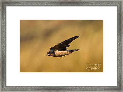 First Swallow Of Spring Framed Print