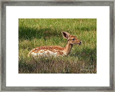 The Fawn Framed Print by Kathy Baccari