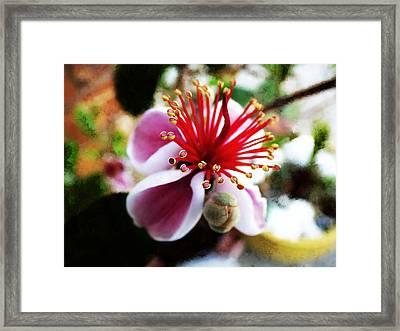 the Feijoa Blossom Framed Print by Steve Taylor