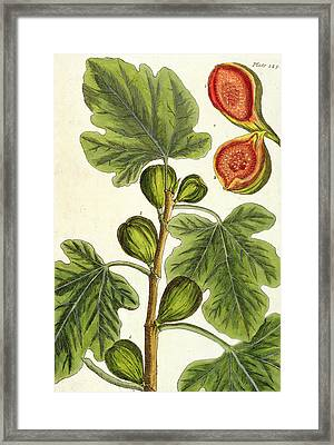 The Fig Tree Framed Print by Elizabeth Blackwell