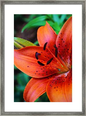 The First Lily Framed Print