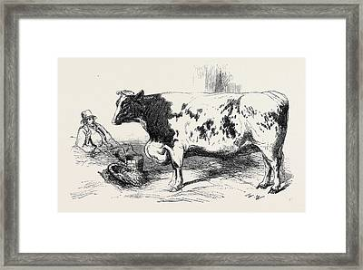 The First Prize Short Horn Class 10 No Framed Print